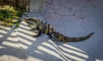 Puerto Morelos's Gecko